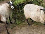 Овцы бараны